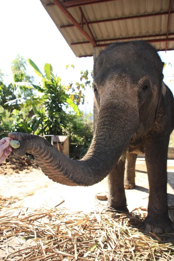 Voedertijd in Thom's Elephantcamp in Pai.