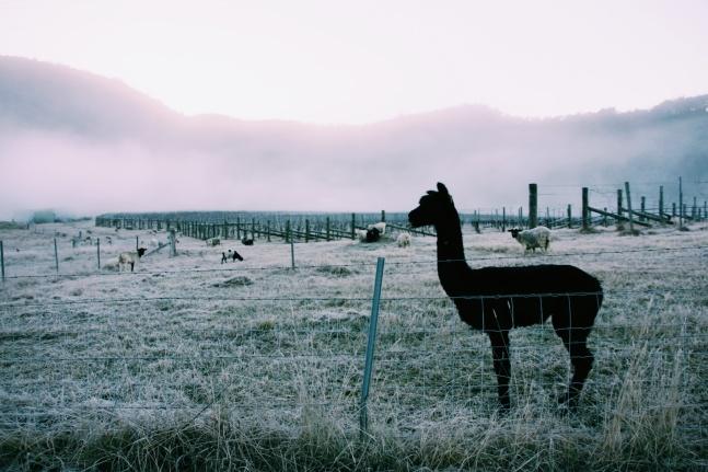 Alpacas in the mist