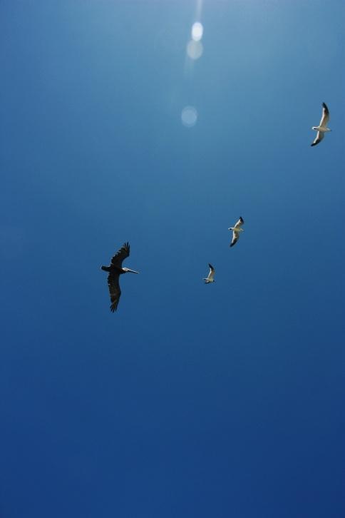 Drie meeuwen en een pelikaan