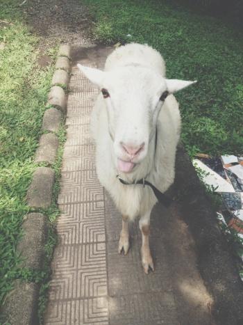 wat schapen,