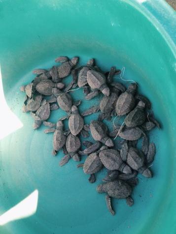 Naast het hostel waren beschermde nesten van zeeschildpadden. Deze zijn een paar minuten oud!