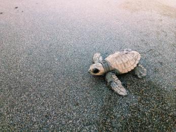 Zeeschildpadje op weg naar de zee